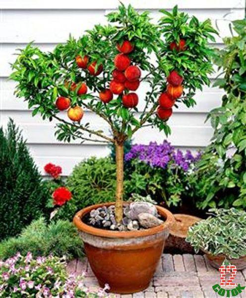 Может ли персик вырасти из косточки в домашних условиях